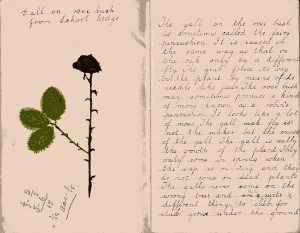 Frank Woodman's notebook 397 Gall on rose bush cropped 96