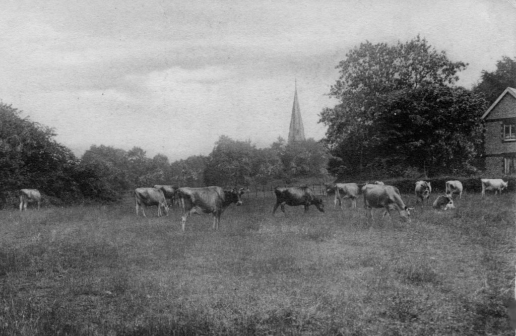 Dairy cows grazing near St Barnabas Church on Ranmore Common, Friths, from the postcard collection of Alison