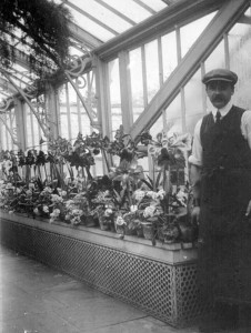 A corner of the vast Denbies glasshouses around 1912, with an unnamed gardener,