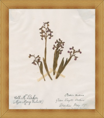 """Orchis morio (Green-winged orchid) """"Collected by Mary Parker (Miss Mary Cubitt)"""" (Copyright Royal Botanic Gardens, Kew)"""