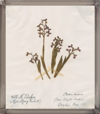 """Orchis morio (Green-winged orchid) """"Collected by Mary Parker (Miss Mary Cubitt)""""- (copyright Royal Botanic Gardens,"""