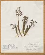 """Orchia moria """"Collected by Mary Parker (Miss Mary Cubitt) - (Herbarium at Home)"""