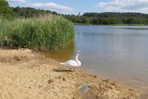 Frensham Great Pond, a noted feature of Ann's home area (Geograph, copyright Alan Hunt)